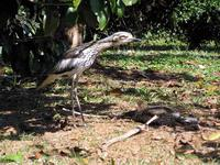 Bush Stone-curlews