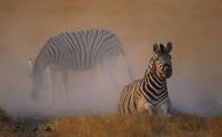 Burchell's Zebra, Equus burchelli, Dustbathing, Etosha  National Park, South Africa (25841)