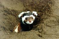 Marbled Polecat (Vormela peregusna) peeking out of his burrow