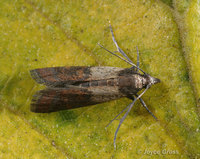 : Plodia interpunctella; Indian Meal Moth
