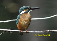 Photo of ledňáček říční, Alcedo atthis, Kingfisher, Eisvogel