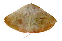 Gymnura micrura, Smooth butterfly ray: fisheries