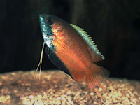 Trichogaster chuna, Honey gourami: aquarium