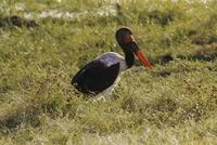 Image of: Ephippiorhynchus senegalensis (saddle-bill stork)