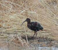Image of: Plegadis chihi (white-faced ibis)
