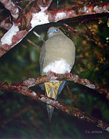 Yellow-vented Green Pigeon - Treron seimundi