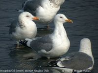 Yellow-legged Gull - Larus cachinnans