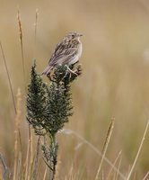 Paramo Pipit (Anthus bogotensis) photo