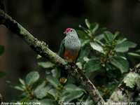 Rose-crowned Fruit-Dove - Ptilinopus regina
