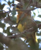 Gray-headed Bushshrike - Malaconotus blanchoti