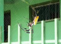 Golden Orb-web Spider just-caught fly (Braulio Carrillo NP)