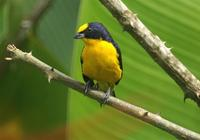 Thick-billed Euphonia. Photo by Barry Ulman. All rights reserved.