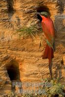 Southern Carmine Bee eater stock photo