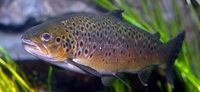 Brown Trout Salmo trutta fario