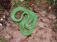 : Liochlorophis vernalis; Smooth Green Snake