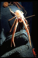: Munida sp.; Deep Water Squat Lobster