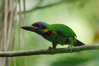 Red-crowned Barbet (Megalaima rafflesii)
