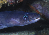Conger triporiceps, Manytooth conger: fisheries