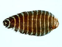 Aesopia cornuta, Unicorn sole: fisheries