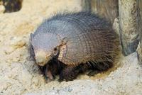 Image of: Chaetophractus villosus (large hairy armadillo)