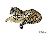 Image of: Leopardus geoffroyi (Geoffroy's cat)