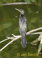 Phalacrocorax fuscicollis - Indian Cormorant