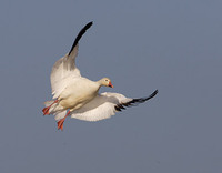 Snow Goose (Chen caerulescens) photo