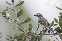 Blue-headed Vireo (Vireo solitarius) photo