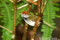 Dark-necked Tailorbird - Orthotomus atrogularis