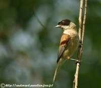 White-crowned Penduline-Tit - Remiz coronatus