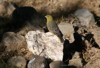 *NEW* GReenish Yellow-finch