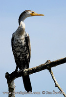 Photo of kormorán neotropický Phalacrocorax brasilianus Neotropic Cormorant Olivaceous Cormorant
