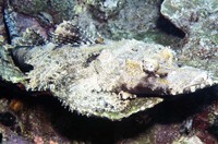 Cymbacephalus beauforti, Crocodile fish: fisheries
