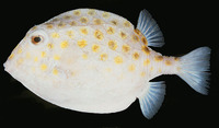 Anoplocapros inermis, Eastern smooth boxfish:
