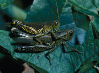 Image of: Orthoptera (grasshoppers, locusts, and relatives)