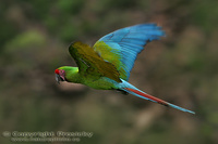 Ara ambigua - Great Green Macaw