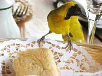 Image of: Ploceus pelzelni (slender-billed weaver)
