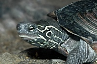 Chinemys reevesii - Reeves' Turtle