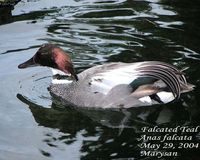 Falcated Duck - Anas falcata