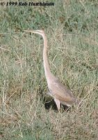 Purple Heron - Ardea purpurea