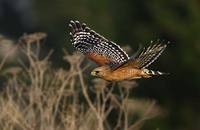 Red-shouldered Hawk (Buteo lineatus) photo