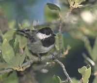 Mexican Chickadee (Poecile sclateri) photo