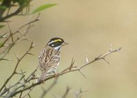 Yellow-browed Bunting (Emberiza chrysophrys) photo