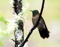 Viridian Metaltail - Metallura williami