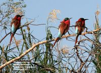 Southern Carmine Bee-eater - Merops nubicoides
