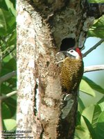 Spot-breasted Woodpecker - Colaptes punctigula
