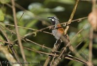 Black-throated Babbler - Stachyris nigricollis