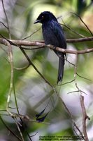 Greater Racket-tailed Drongo - Dicrurus paradiseus