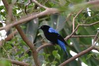 Fairy Bluebird (male)