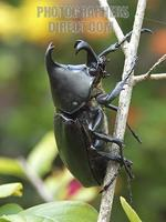Large black rhinoceros beetle in a rainforest in Queensland , Australia 055D stock photo